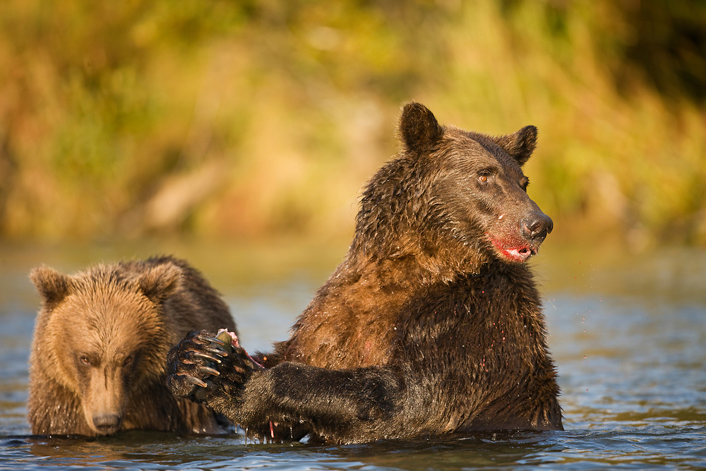 USA, Alaska, Katmai National Park, Kinak Bay, Brown Bear (Ursus arctos) Sow and Cub feeding on spawning salmon in stream on autumn morning