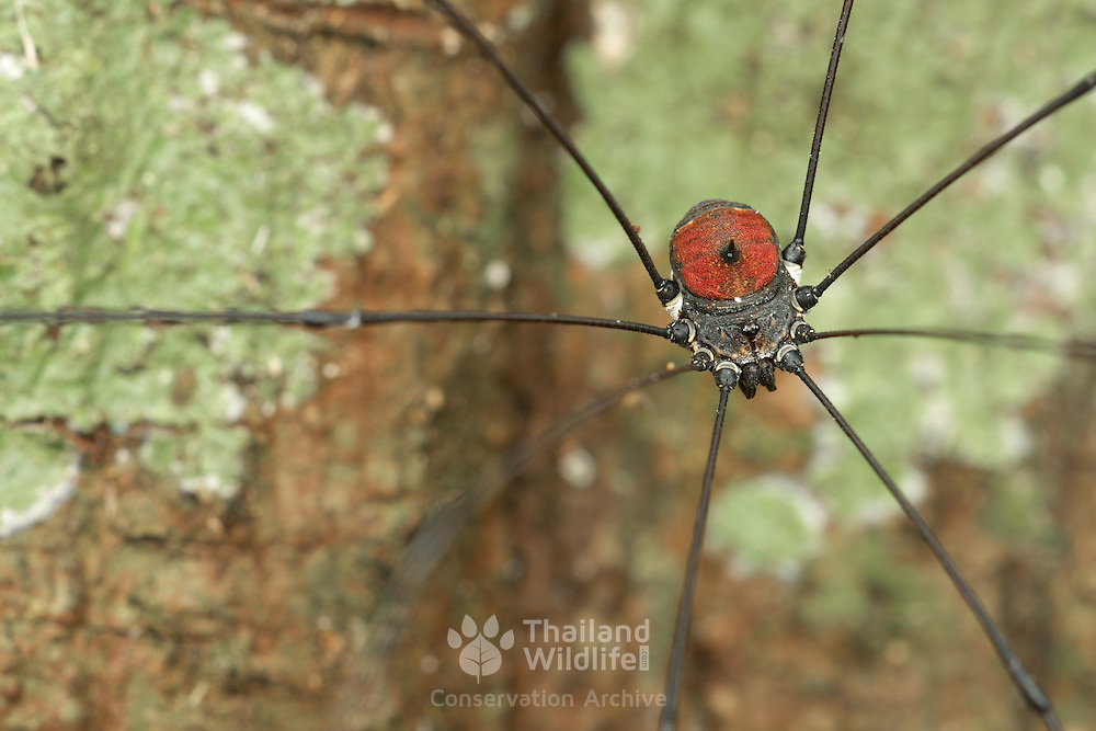"Harvestman (Opiliones). Opiliones (Latin opilio, ""shepherd""; formerly Phalangida) are an order of arachnids, but are not spiders,  commonly known as harvestmen."