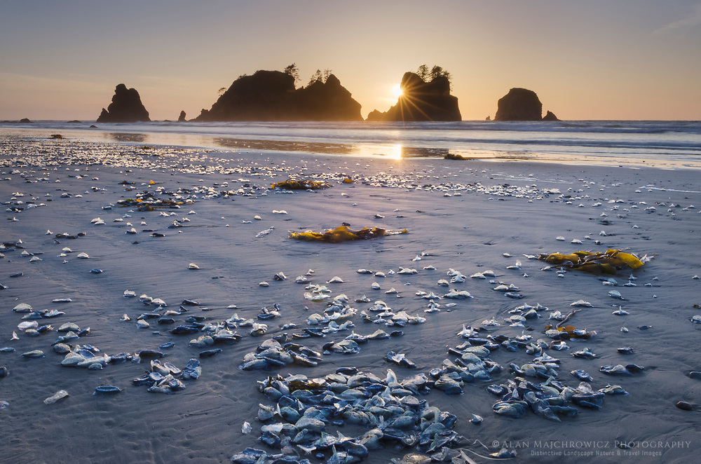 Sunset on Shi Shi Beach, seastacks of Point of the Arches are in the distance. Olympic National Park, Washington.