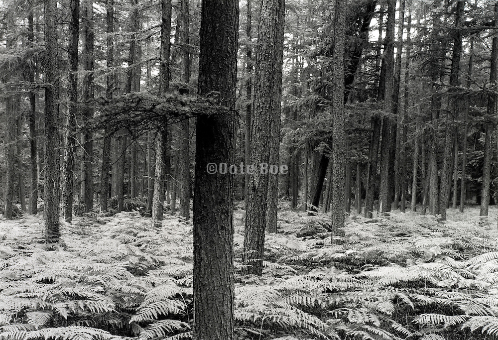 pine tree trunks with undergrowth