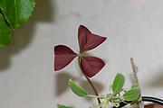 Purple false shamrock (Oxalis triangularis) close up of the Triangular leaf