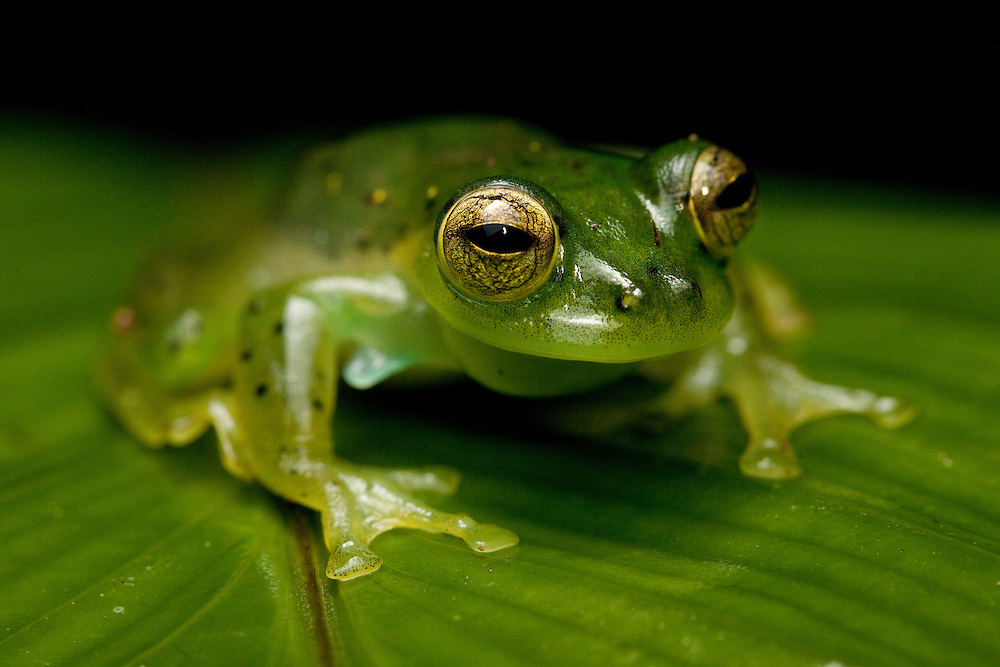 Glass frog, Centrolene prosoblepon, Choco, Colombia