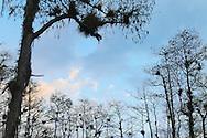 Baldcypress trees and airplants (Tillandsia) at dusk, Big Cypress National Preserve, Florida
