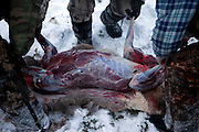 Hunters disembowel a shot deer in the Yakutian Taiga a few hundred kilometers from the city of Yakutsk. Yakutsk (Russian: ???????) is a city in the Russian Far East, located about 4° (450 kilometres) south of the Arctic Circle. It is the capital of the Sakha (Yakutia) Republic in Russia with a major port on the Lena River. The city has a population of 264.000 (2009). Yakutsk is one of the coldest cities on Earth. The average monthly winter temperature in January is around -43,2 °C. Yakutsk, Jakutsk, Yakutia, Russian Federation, Russia, RUS, 24.01.2010.
