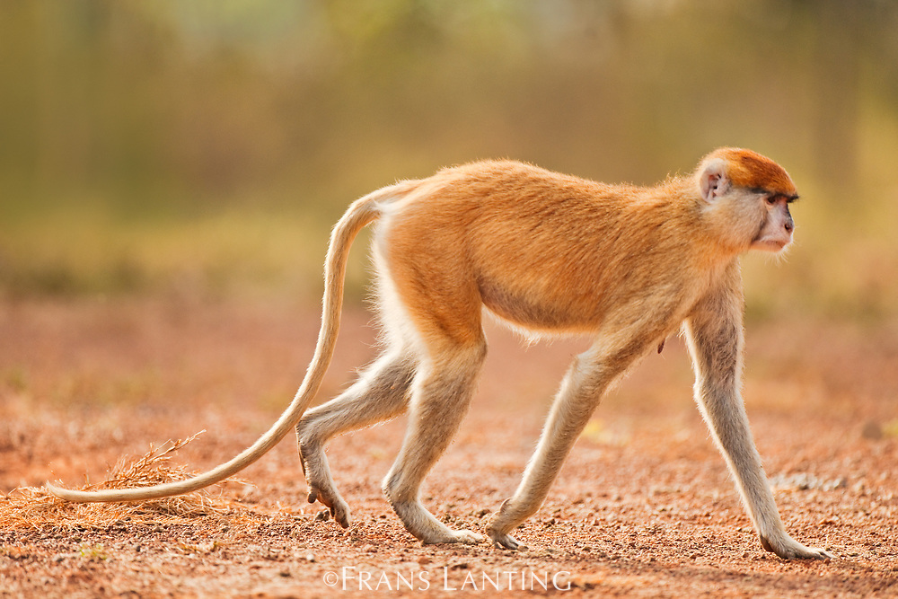 Patas monkey walking, Mole National Park, Ghana