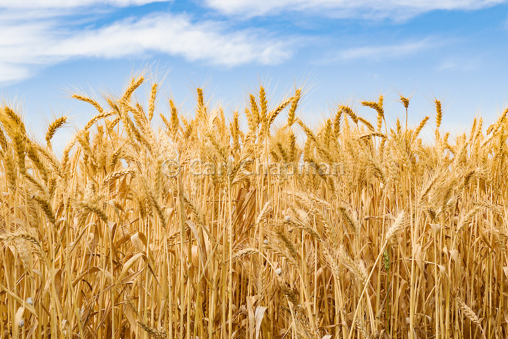 Heads of golden wheat before harvesting on a farm  in rural Murtoa, Victoria, Australia - some snails on wheat stalks.