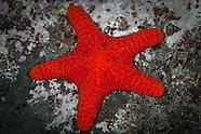 Kermadec Starfish 2