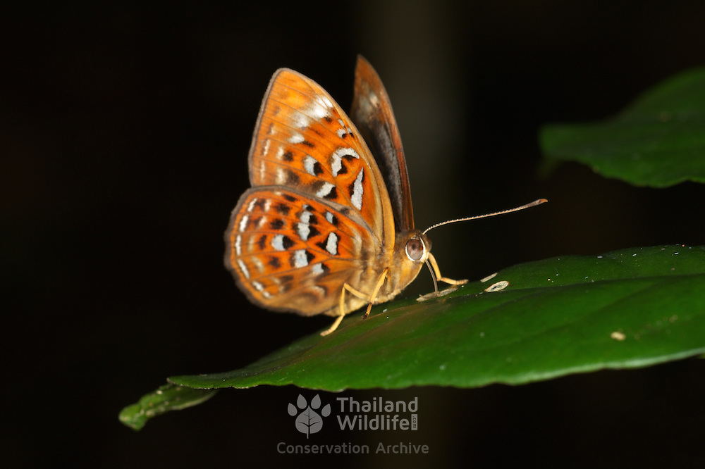 The Larger Harlequin (Taxila haquinus berthae) at Khao Yai National Park, Thailand.