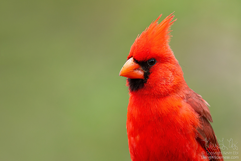 A Northern Cardinal (Cardinalis cardinalis) rests against a green forested backdrop in the Boyce Thompson Arboretum near Superior, Arizona.