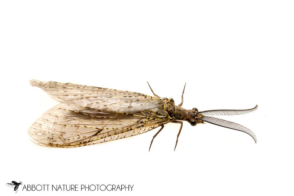 Spring Fishfly (Chauliodes rastricornis) - male<br /> TEXAS: Jasper Co.<br /> Brookeland/Lake Sam Rayburn KOA @ 505 Co Rd 212<br /> 31.141606, -93.994174<br /> 15-21.March.2015<br /> J.C. Abbott #2702 &amp; K.K. Abbott