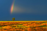 Rainbow, canola crop and  cottonwood tree<br />