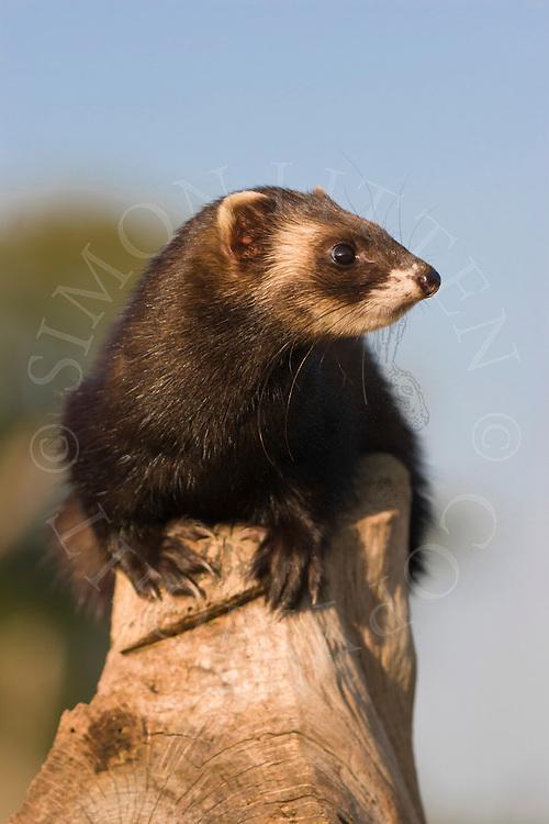 Western Polecat (Mustela putorius) adult, aler. Captive.