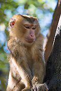Makach monkey, captive, Hill Tribe Village, Thailand