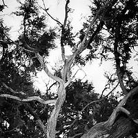 The Sabinar de Calatanazor is a remarkable forest of Spanish juniper (Juniperus thurifera) in Soria near the village of Calatanazor