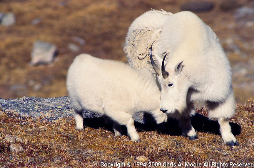 A Rocky Mountain Goat and Kid, Mt Evans, CO, 1994