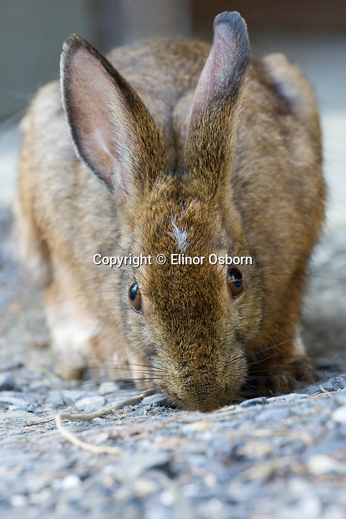 Snowshoe hare eating dirt
