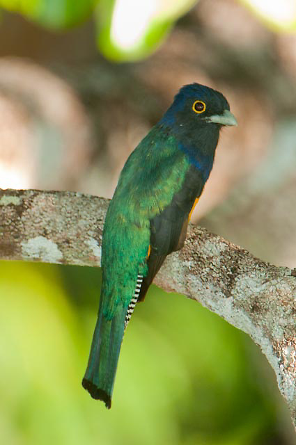 Violaceous Trogon high the canopy along the Cristalino river, Amazon, Brazil