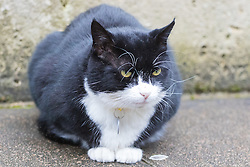 Downing Street, London, August 2nd 2016. Tensions appear to be ongoing in Downing Street as Larry the cat from No. 10 and Palmerston, newly resident at the Foreign Office continue their territorial feud. PICTURED: Crouching tensely, Palmerston stares malevolently across the street at his opponent.