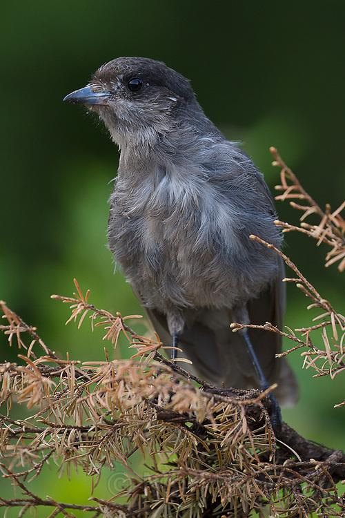 Gray Jay, juvenile