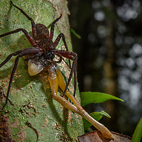 The complex ecosystem of the rainforest is filled with such a plethora of tiny hungry creatures that many predators may themselves become victims to something larger. Here, in the humid jungles of southern New Guinea, an unfortunate tree frog is being devoured by a large huntsman spider (family Sparassidae). With leg spans sometimes exceeding 15cm, these spiders spin no webs and instead rely on speed to catch their prey.