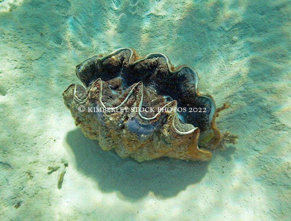 A magnificent Giant Clam in the Clerke Lagoon at the Rowley Shoals.