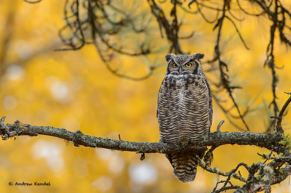 A Great Horned Owl (Bubo virginianus) is perched among Autumn gold Cottonwoods, Missoula, Montana  Disclaimer:  Extraneous branches were removed digitally.