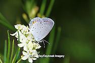 03226-00407 Eastern Tailed-Blue butterfly (Everes comyntas) on Whorled Milkweed (Asclepias verticillata), Sand Prairie-Scrub Oak Nature Preserve, Mason Co. IL
