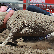 A young boy holds on tightly as he falls from the back of a sheep during the kids sheep ride competition at the Wanaka Rodeo. Wanaka, South Island, New Zealand. 2nd January 2012