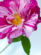 Rosa gallica 'Versicolor' - rosa mundi