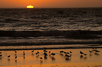 Sunset over the Pacific Ocean at Moss Landing with shorebirds on the beach including Marbled godwits (Limosa fedoa) and Willets (Catoptrophorus semipalmatus).  California.  Oct 2002.