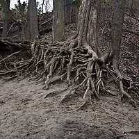 Eroded slope held in place by tree roots
