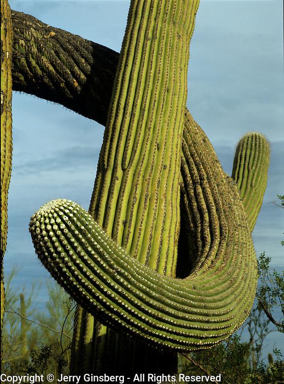 Giant saguaro cactus in Saguaro National Park, Tucson, Arizona.