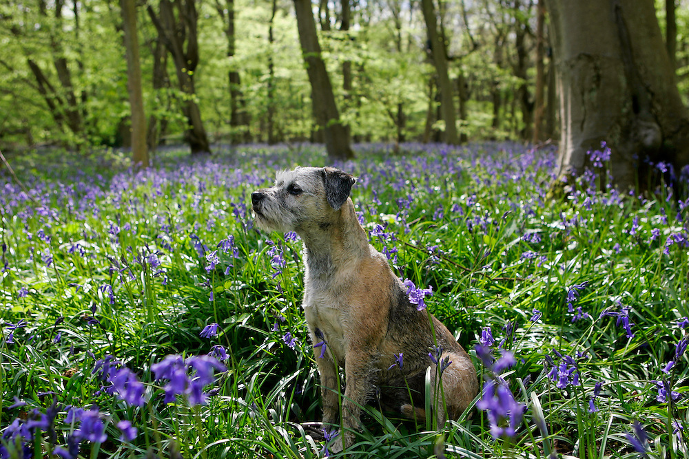 Jess, a Border Terrier dog sitting among bluebells growing in a wood, Oxfordshire, England