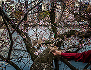Feeding sparrows in front of a cherry tree at Shinobazu Pond.  Ueno, Tokyo, Japan.