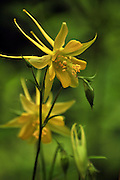 Golden Columbine, (Aquilegia chrysantha), grows along a stream along Marshall Gulch Trail, Mount Lemmon, Pusch Ridge Wilderness, Santa Catalina Mountains, Coronado National Forest, Sonoran Desert, Summerhaven, Arizona, USA.  The area is a Sky Island.