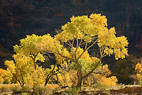 Autumn foliage of Cottonwood trees set ablaze by the morning sun in Zion Canyon, Zion National park Utah USA