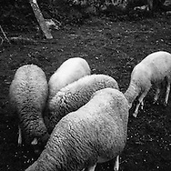 """sheep"" was the codename for the illegal emigrants to cross the Minho River to ""Take the leap"" to France in the 60's"
