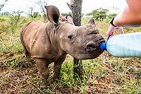 Rhino poaching is also leaving a swathe of orphaned calves behind. These calves are extremely traumatized and require continual care at specialized facilities. Poachers tried to hack the horn stub of this calf off while he stood next to his dead mother. They slashed his back and face with machetes.