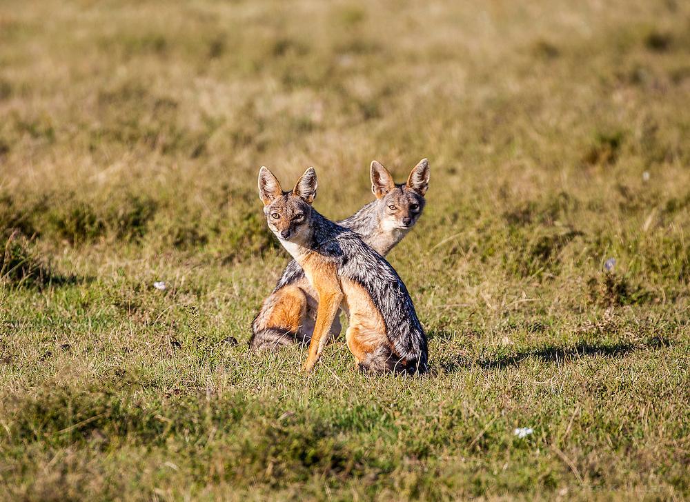 Curious jackals in the Masai Mara, Kenya.