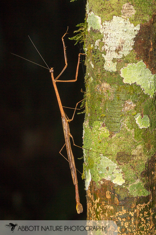 Stick Mantis (Angela sp.)<br /> Peru: Departamento de Madre de Dios Co.<br /> Refugio Amazonas on the Tambopata River<br /> 30-Jul-2016<br /> J.C. Abbott #2857 &amp; K.K. Abbott