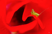close up of a Sickle-bearing bush-cricket (Phaneroptera falcata) on a red flower. Photographed in Israel in February