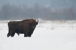 Wisent in de sneeuw; European Bison in snow