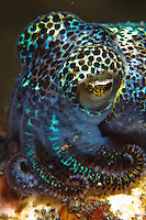 A tiny Berry's bobtail squid (Euprymna berryi). These squid come out at night and are usually an incredibly-bright iridescent blue and green. Photographed in Alor Kecil, Indonesia.