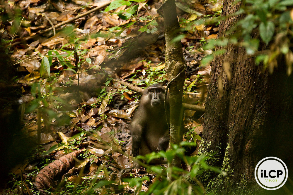 Tonkean Macaque in Sulawesi, Indonesia on an iLCP Tripods in the Mud, November 2011.