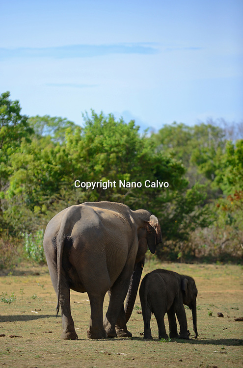 Sri Lankan elephant (Elephas maximus maximus) in Udawalawe National Park, on the boundary of Sabaragamuwa and Uva Provinces, in Sri Lanka.