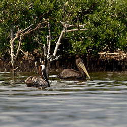 A oil soaked Brown Pelican swims with a group of pelicans at Cat Island off the coast of Louisiana on Thursday, June 17 2010. Oil from the Deepwater Horizon spill continues to impact areas across the coast of gulf states.