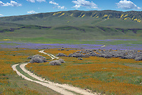 Orange Common Fiddleneck and purple Phacelia in the Temblor Range in the Carrizo Plains National Monument, California during a super wildflower bloom on April 4, 2019.