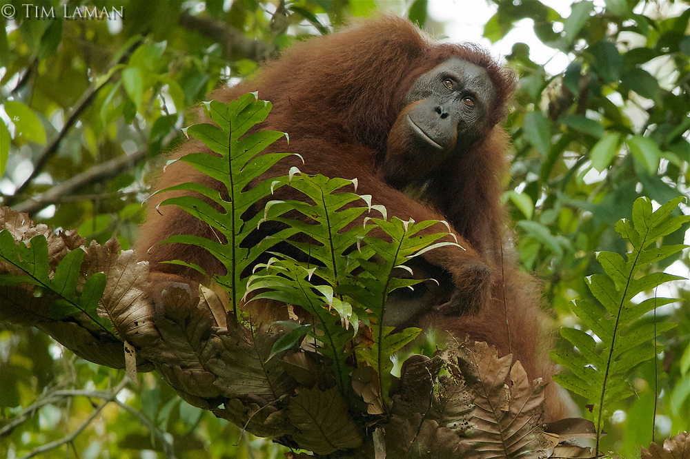 Bornean Orangutan <br />Wurmbii Sub-species<br />(Pongo pygmaeus wurmbii)<br /><br />Unflanged adult male &quot;Ned&quot;<br /><br />Gunung Palung Orangutan Project<br />Cabang Panti Research Station<br />Gunung Palung National Park<br />West Kalimantan Province<br />Island of Borneo<br />Indonesia