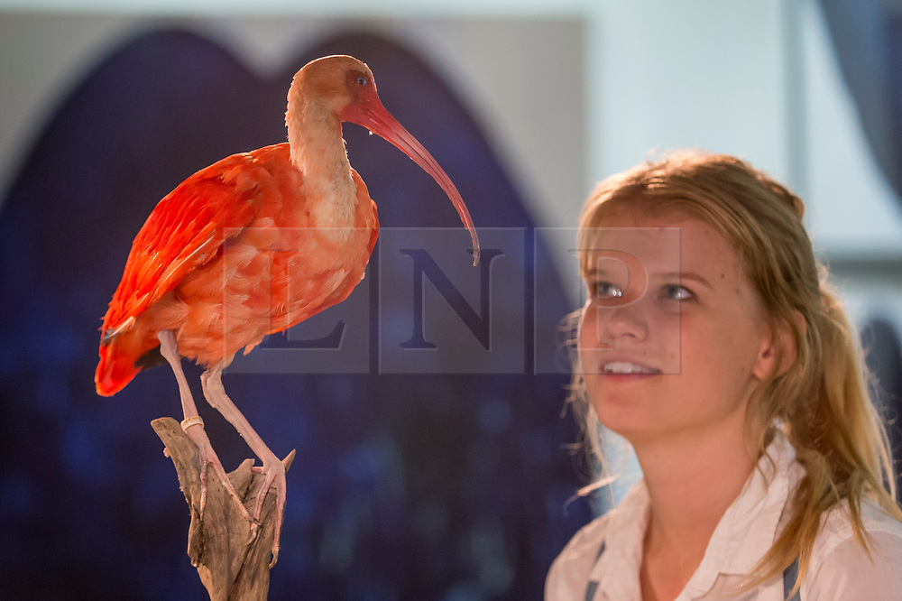 """© Licensed to London News Pictures. 05/10/2018. LONDON, UK. A visitor views """"Scarlet Ibis"""" by Elle Kaye, an artist who shows taxidermy as art, during Not 30%, a sub-exhibition presenting works by female artists. Opening day of The Other Art Fair, presented by Saatchi Art, which runs until 7 October in Bloomsbury.  The fair, which coincides with Frieze Week, is a collection of artworks by independent and emerging artists handpicked by a committee of art world experts.  Visitors and art buyers have the opportunity to meet the artists presenting their work at the fair. Photo credit: Stephen Chung/LNP"""