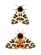 Garden Tiger Arctia caja Wingspan 50-65mm. A stunning and distinctive moth. Usually rests with its wings spread flat, the forewings covering the hindwings. Adult has a variable pattern of brown and white on forewings; if startled, these are spread to reveal the dark-spotted orange hindwings. Flies July–August. Larva is hairy and feeds on a wide range of herbaecous plants. Widespread but these days it is scarce as a garden species; seems to be commonest in coastal areas.